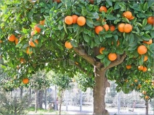 Orenge tree in Rehovot