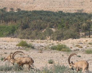 Ein Gedi - Ibex at the date plantations